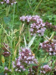 Suchbild Insekten - Insekten, Schwebfliegen, Schmetterling, Kohlweißling, Dost