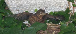 Jungamsel #1 - Amsel, kleiner Vogel, junger Vogel, Vogel, Jungvogel, jung, Nestling, flügge