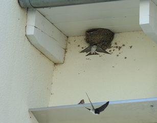 Mehlschwalben #2 - Mehlschwalben, Vogel, Nest, Brutpflege