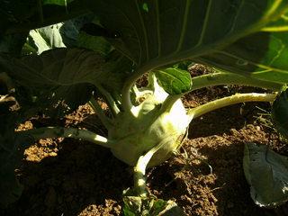 Kohlrabi im Garten#1 - Kohlrabi, Gemüse, Knolle, Rübkohl