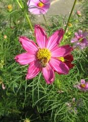 Hummel auf Blüte - Hummel, Insekt, Blüte, Nektar, saugen, fliegen, Hautflügler, Cosmea, Schmuckkörbchen