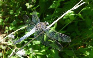 Großer Blaupfeil #2 - Libelle, Sommer, fliegen, Flügel, Hautflügel, Insekten, Gliederfüßler, Insekt, Flügelpaar, Gewässer, Großer Blaupfeil, Orthetrum cancellatum
