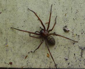 Winkelspinne #1 - Spinne, Spinnentiere, Hausspinne, Winkelspinne, Tegenaria ferruginea