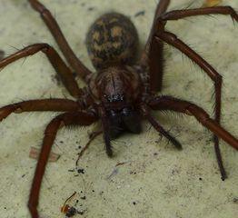 Winkelspinne #2 - Spinne, Spinnentiere, Hausspinne, Winkelspinne, Tegenaria ferruginea