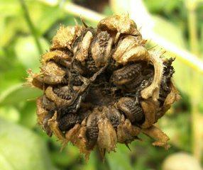 Samen der Ringelblume - Samen, Ringelblume, Makro, Garten-Ringelblume, Korbblütler, Heilpflanze