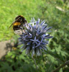 Hummel - Hummel, Hautflügler, staatenbildendes Insekt, gelb-braun, Stachel, Drohnen, Arbeiterinnen, Königin