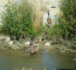 Nilgänse #2 - Gans, Nilgans, Vogel, Entenvogel, Schnabel, Halbgans, Küken, Jungvögel
