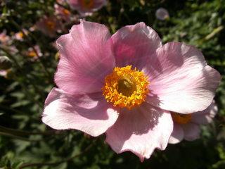 Blüte der Herbstanemone - Herbstanemone, Windröschen, Herbst, Anemone, Hahnenfußgewächs, Bedecktsamer, mehrjährig, krautig