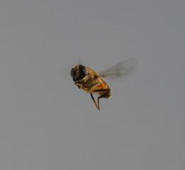 kleiner Flieger - Insekten, Flügelschlag, Flügel, fliegen, Körperteile