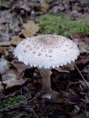 weißer Pilz 02 - Wald, Waldboden, Pilz, Schirmpilz, Riesenschirmpilz