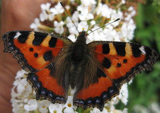 Symmetrie - Insekten, Falter, Schmetterlinge, Symmetrie, Körperteile, Flügel, Fühler
