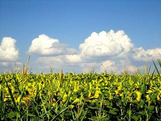 Sonnenblumenfeld #2 - Sonne, Sonnenblumen, Feld, blühen, Blüte, Nutzpflanze, gelb, Wolken, weiß, Sommer, Blume, Korbblütler