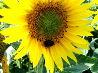 Hummel auf Sonnenblume - Sonne, Blume, Sonnenblume, Hummel, Nahrungssuche