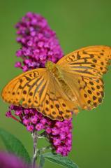 Schmetterling Kaisermantel - Schmetterling, Tagfalter, Argynnis paphia, Silver-washed Fritillary, Edelfalter, Flieder, Schmetterlingsflieder, Sommerflieder, Symmetrie
