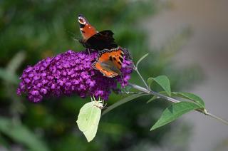 Schmetterlinge – drei auf einen Streich - Schmetterling, Schmetterlinge, Tagfalter, Edelfalter, Tagpfauenauge, Kleiner Fuchs, Zitronenfalter, Sommerflieder, Schmetterlingsflieder