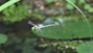 Libelle – blaugrüne Mosaikjungfer  - Libelle, Libellen, Edellibelle, Großlibelle, Aeshna cyanea, Mosaikjungfer, blau, grün, fliegen, Flugkünstler, Flügel, Hautflügel, Biologie, Insekten, Gliederfüßer, Insekt, Flügelpaar, Gewässer, Teich, Garten