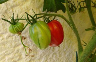 Tomaten - Tomatenpflanze, Tomate, Tomate, Pflanze, Paradeiser, Paradiesapfel, Nachtschattengewächs, Blätter, grün, rot, unreif, reif, einjährig