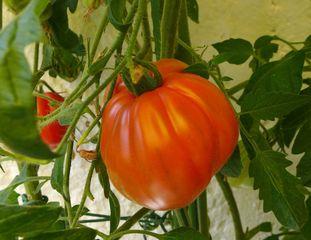 Riesentomate #2 - Tomatenpflanze, Tomate, Tomate, Pflanze, Paradeiser, Paradiesapfel, rot, reif, Nachtschattengewächs, Blätter, einjährig, Fleischtomate, Ochsenherztomate, Coeur de boeuf
