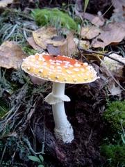 Fliegenpilz mit ausgebreiteter Kappe - Wald, Waldboden, Pilz, Fliegenpilz, Wulstling, giftig, ungenießbar, rot, Schwammerl