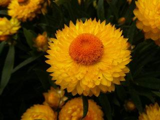 Strohblumen #2 - Strohblumen, Strohblume, Bracteantha, Blume, Pflanze, Blüten, gelb, blühen, Garten
