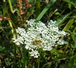 Schwebfliege auf Wilder Möhre - Insekt, Schwebfliege, Körperteile, Flügel