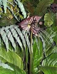 Fledermauslilie_Teufelsblume 1# - Fledermauslilie, Teufelsblume, Gespensterpflanze, Tropen, tropisch, Pflanze, Lilie, exotisch