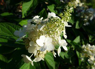 Rispenhortensie - Hortensie, Rispenhortensie, Strauch, Zierpflanze, Hortensiengewächs