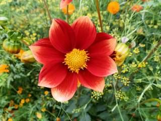 einfache Dahlienblüte - Blüte, Dahlie, krautig, Sommerblume, rot, Aster, Korbblütengewächs, Korbblüte, Knolle, Knollengewächs, Blume