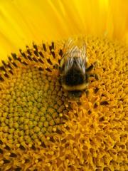 Hummel auf einer Sonneblume#2 - Hummel, Hautflügler, staatenbildendes Insekt, gelb-braun, Stachel, Drohnen, Arbeiterinnen, Königin