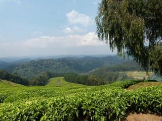 Teeplantage - Tee, Hochland, Teeplantage, Teeanbau, Landwirtschaft, Biologie