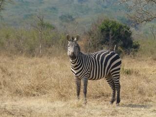 Zebra - Zebra, Unpaarhufer, Streifen, Pferd, Mähne, Grasfresser, Zoo, Gehege, schwarz-weiß, gestreift, Savanne, Tarnung, Camouflage