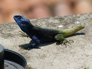Eidechse - Biologie, Tiere, Reptilien, Eidechsen, Afrika