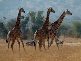 Giraffen und Zebras - Giraffe, Savanne, Afrika, Nationalpark, drei, Pflanzenfresser, Paarhufer, Wiederkäuer, Tarnung