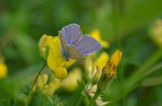 Schmetterling Hauhechel-Bläuling - Schmetterling, Falter, Tagfalter, blau, gelb, Blüte, Blume, Polyommatus icarus, Gemeiner Bläuling, Bläuling, Common Blue