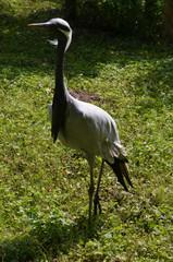 Jungfernkranich - Vogel, Kranich, Anthropoides virgo, Zugvogel, Kranichvögel