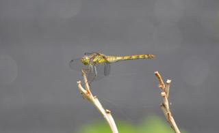 Große Heidelibelle - Sympetrum striolatum, Heidelibelle, Libelle, Großlibelle, Segellibellen, Flugkünstler, Flügel