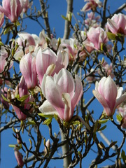 Magnolie - Magnolie, Tulpenbaum, Tulpe, Baum, Blüte, rosa