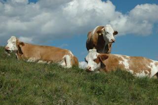 Kühe - Kuh, Hausrind, Weibchen, Alm, Paarhufer, Wiederkäuer