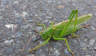 Heuschrecke - Heupferd, Heuschrecke, Grashüpfer, grün, springen, Insekt, Insekten, Fühler, fliegen, zirpen, wechselwarm, nachtaktiv