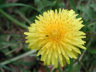 Gelbe Blüte - Korbblütengewächse, Asteraceae, Korbblütler, Asterngewächse, Löwenzahn, Butterblume, Kuhblume, gelb, Blüte