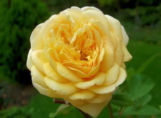 Rose - Rose, Schnittblume, Knospe, Rosengewächs, Naturform, Draufsicht, Rosenblüte, Schnittblume, Blüte, Blume, gelb