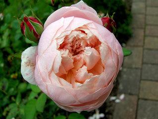 Rose - Rose, Schnittblume, Knospe, Rosengewächs, Naturform, Draufsicht, Rosenblüte, Blüte, Blume, gefüllt