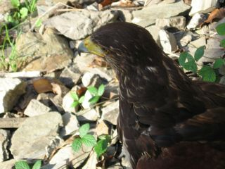 Adlerkopf - Adler, Kopf, Blick, Sehsinn, Auge, Sehschärfe, Sinne, Vogel, Schnabel, Greifvogel, Wappentier