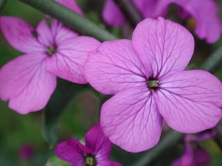 Silberblatt Blüten - Lunaria, Silberblatt, Silbertaler, Silberling, Judaspfennig, Mondviole, Nachtviole, Schötchenfrüchte, violett, Blüte, Blume, lila, Kreuzblütler, Schattengewächs