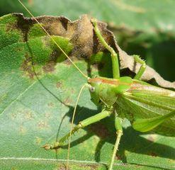 Heuschrecke #1 - Heupferd, Heuschrecke, Grashüpfer, grün, springen, Insekt, Insekten, Fühler, fliegen, zirpen, wechselwarm, nachtaktiv