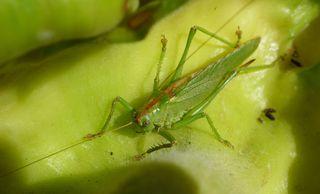Heuschrecke #2 - Heupferd, Heuschrecke, Grashüpfer, grün, springen, Insekt, Insekten, Fühler, fliegen, zirpen, wechselwarm, nachtaktiv