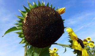 Sonnenblume - Sonnenblume, Blume, Spätsommer, Herbst, Korbblütler, Fruchtstand