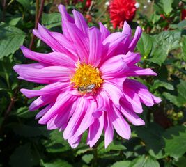 Dahlie - Dahlie, Blüte, violett, Herbst, Sommerblume, rot, Aster, Korbblütengewächs, Korbblüte, Knolle, Knollengewächs, Blume