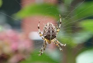 Kreuzspinne #1 - Spinne, Kreuzspinne, Tier, Spinnennetz, Webspinne, Radnetzspinne