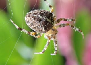 Kreuzspinne #3 - Spinne, Kreuzspinne, Tier, Spinnennetz, Webspinne, Radnetzspinne